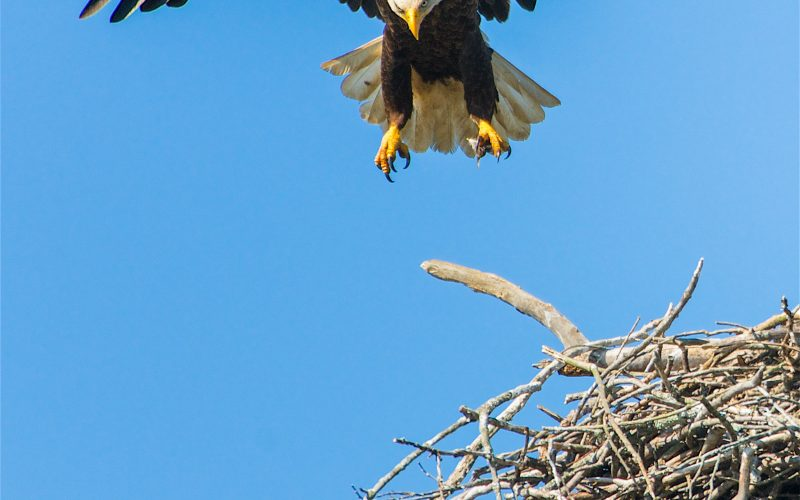 A Bird That Builds Its Nest Right Next to Its Enemy