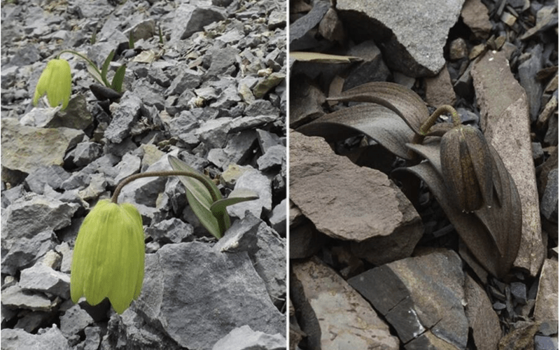 This Flower Has Learned To Hide From Humans