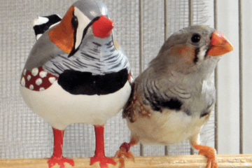 From Babbling to Birdsong: What Finches Can Teach Us About Vocal Learning